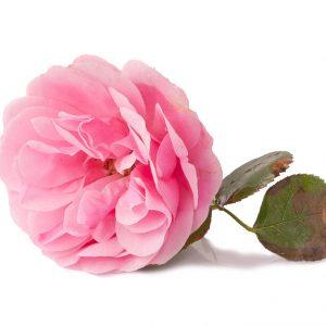 A single pink Rosa Damascena on white background
