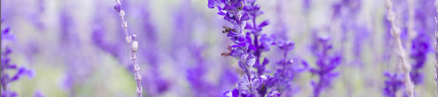 Beautiful-Lavender-flower
